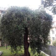 Matteo_ferretti_giardini_manutenzione_potatura_piante_foreste_liguria_genova_cippatrice_pacciamatura_Paraggi_santa_margherita_ligure_liguria_ulivo